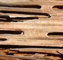 serangga hama kayu