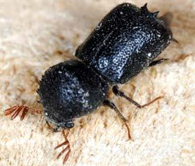 kumbang pengebor kayu