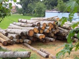kayu-kelapa-2