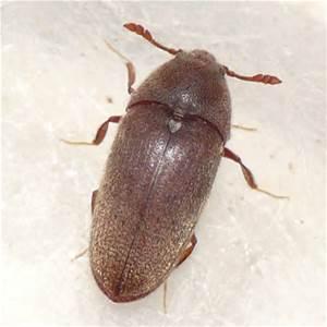 kumbang-teter
