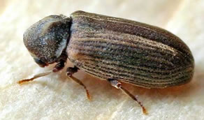 kumbang bubuk